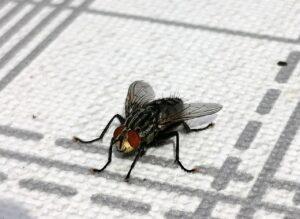 Schau mir in die Augen Fliege
