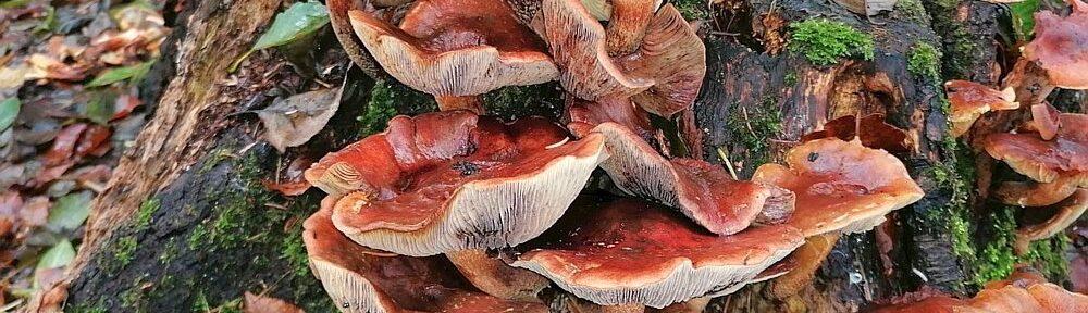 Pilz am Baumstumpf