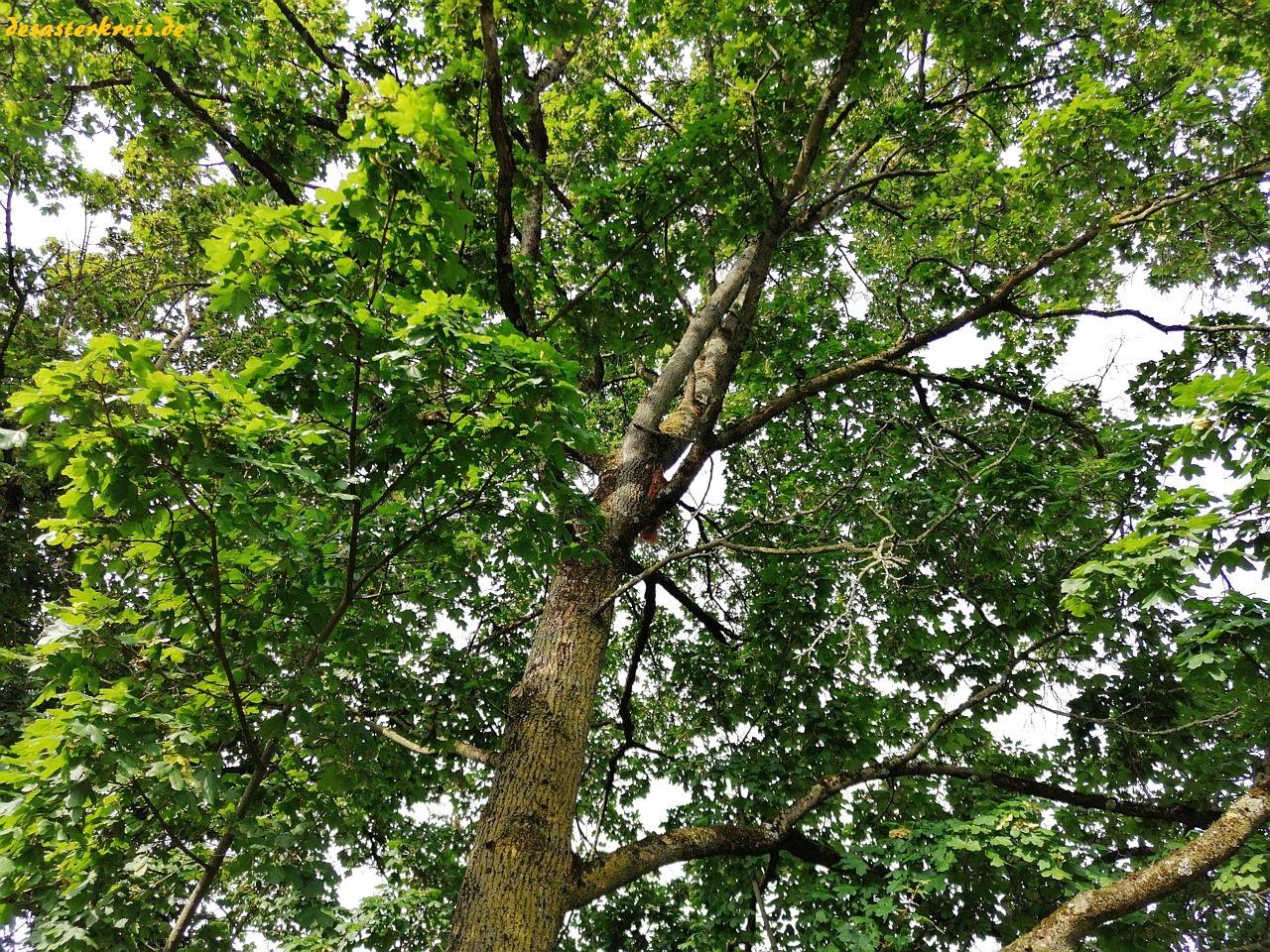Suchbild - Eichhörnchen im Baum